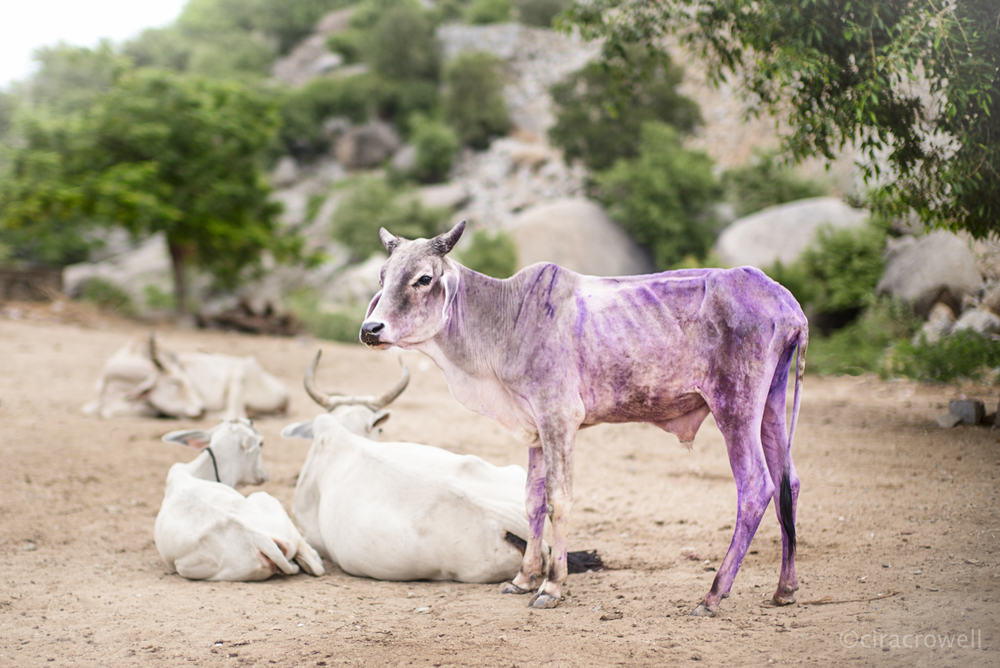This Is A Purple Cow   Naralai, Rajasthan, India  July 2014